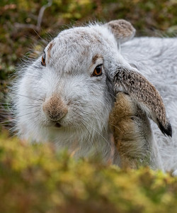 Mountain Hare Grooming