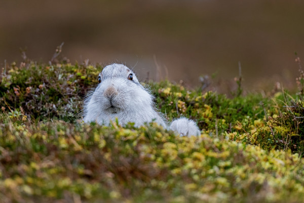 Young Mountain Hare in Winter Pelage