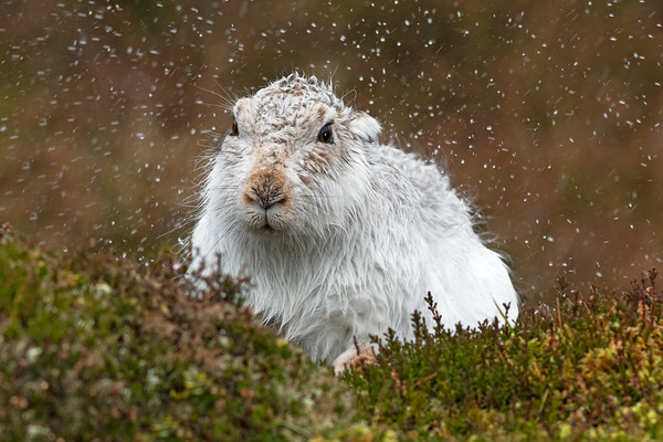 Mountain hare shaking the rain off