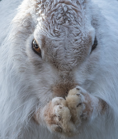 Close-up of mountain hare grooming