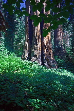 Mountain Home Redwood Grove