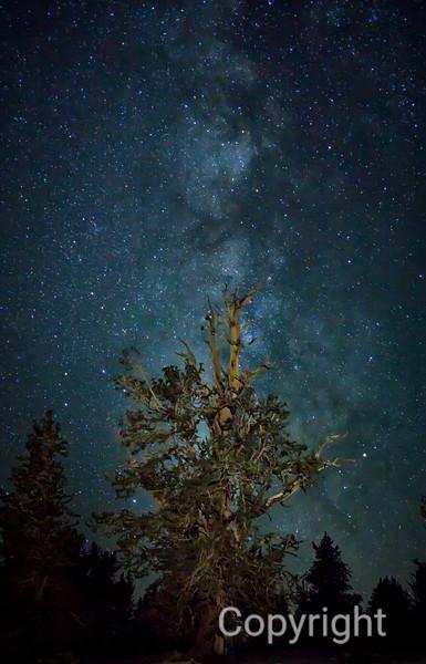Bristlecone Forest