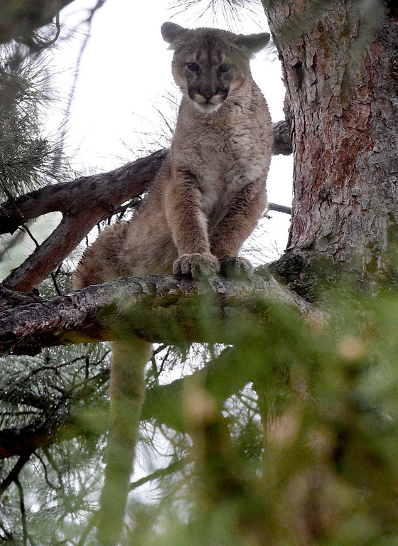 . BOULDER, CO - April 10, 2019: The City of Boulder Mountain Parks kept watch on a mountain lion in a tree in the Wonderland Hills Park area on April 10, 2019. (Photo by Cliff Grassmick/Staff Photographer)