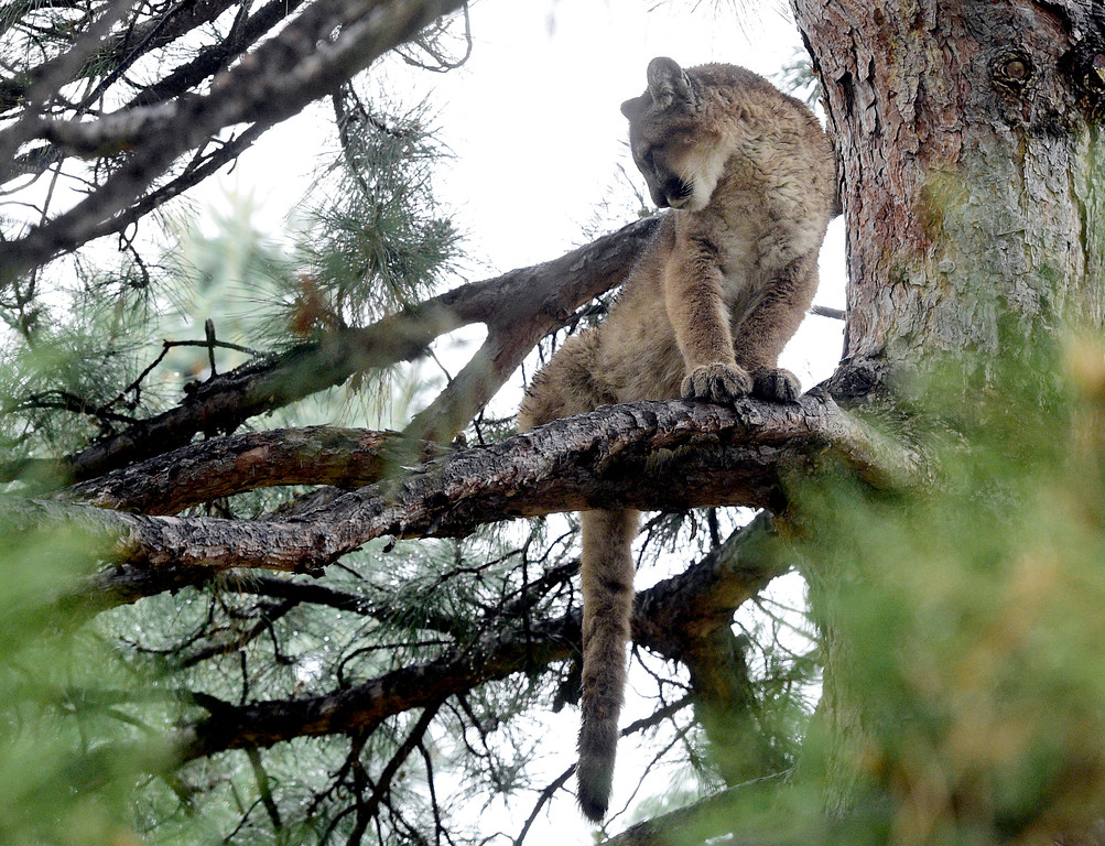 . BOULDER, CO: April 10, 2019:  A mountain lion is hanging out in a tree near Poplar ave and Wonderland Hill Ave in Boulder on April 10, 2019. (Photo by Cliff Grassmick/Staff Photographer)
