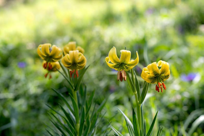 Lirio de los Pirineos,  lilium pyrenaicum