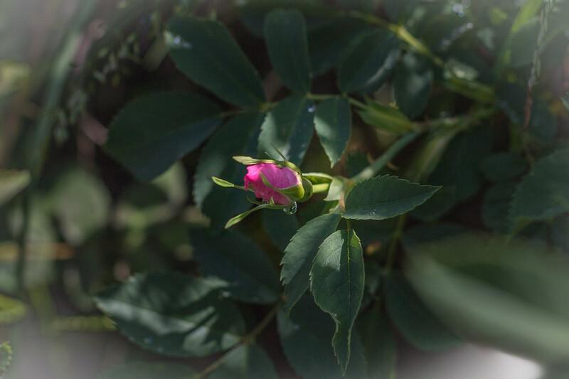Rosa silvestre.