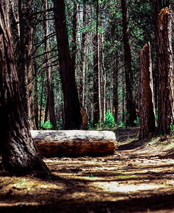 Trees and Shadows, YNP, CA