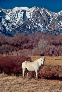 Owens Valley Horse