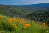 California Poppies in the Santa Cruz Mountains