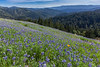 Lupine on the Santa Cruz Mountains
