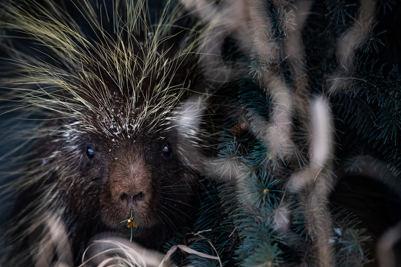 Stare of the Porcupine