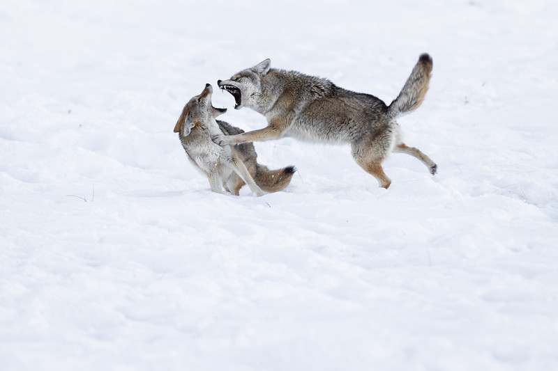 A Coyote Squabble