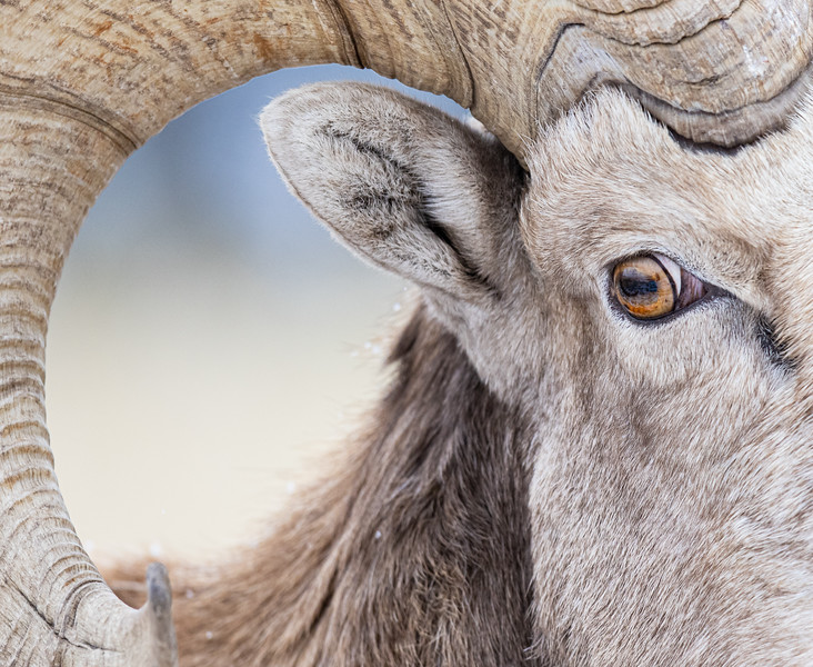 Eye of the Bighorn