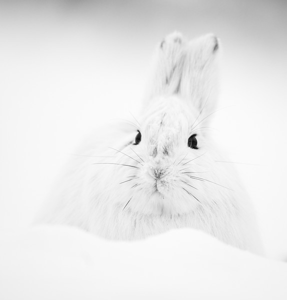 Snow Hare in White