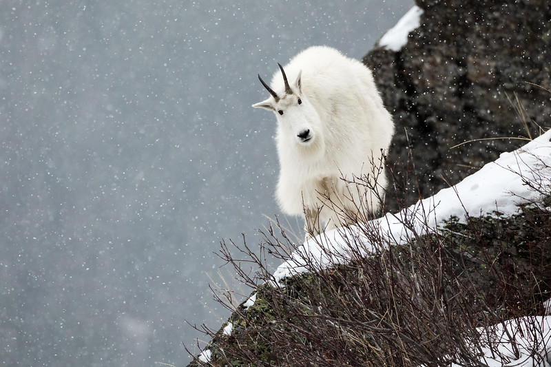 Mountain Goat in the Snow
