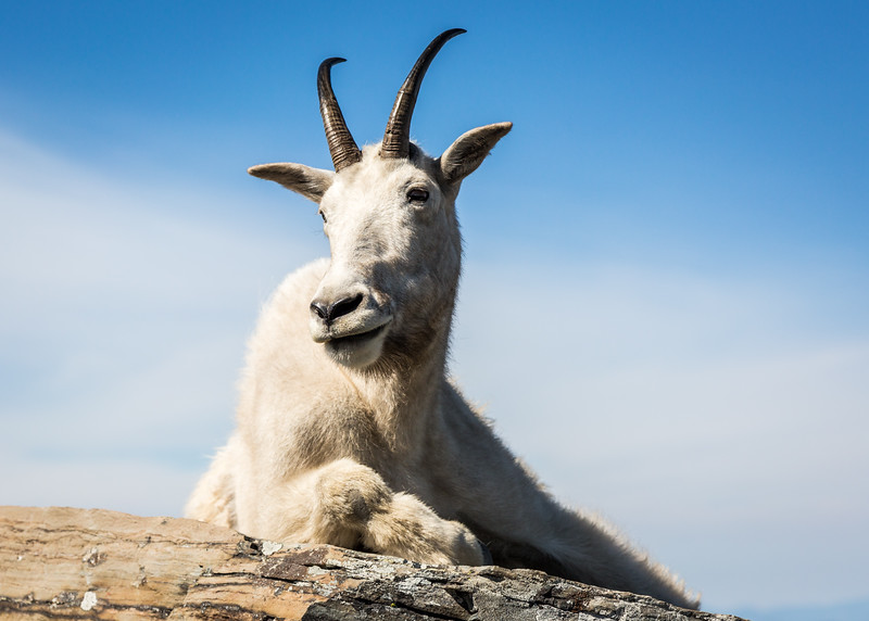 Lounging Mountain Goat