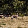 Gemsbok, AKA Oryx