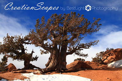 The Crags - north side of Pikes Peak  Bristlecone pine tree - believed to be the oldest living trees  Colorado