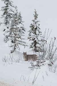 A bobcat watches me as I step out of my car on the Banff Windermere Parkway.