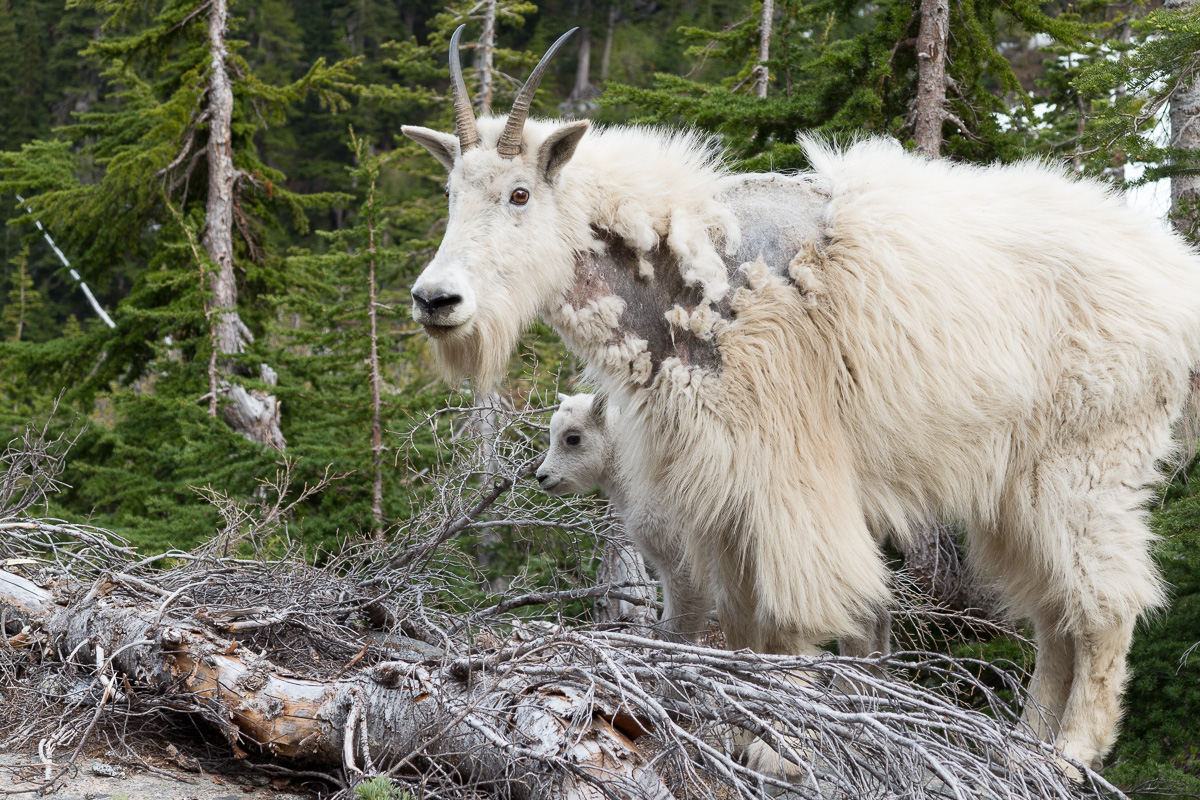 Maybe it was this young goat behind his father who made bleating sounds all night...
