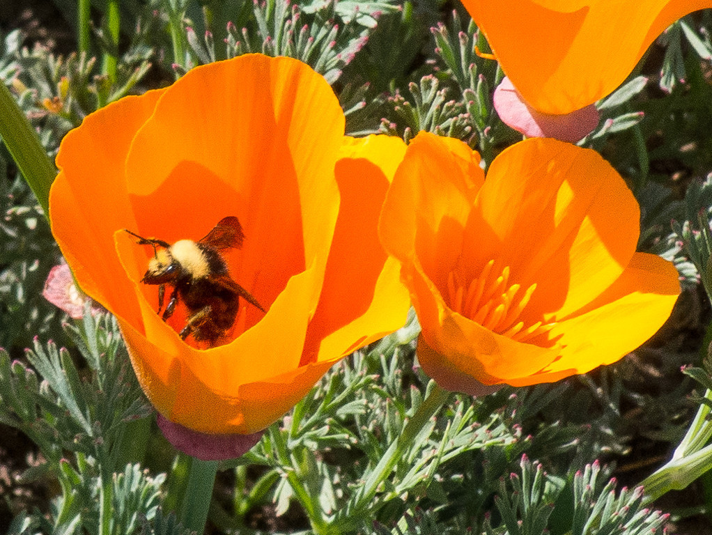 Some poppies, and one bee.