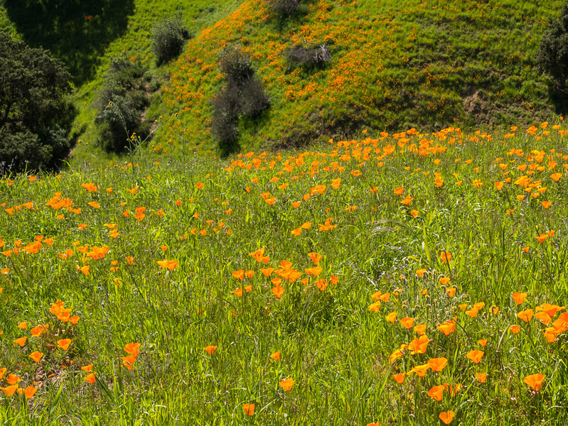 More poppies than I have ever seen in the park..