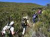 shrubs of Protea kilimandscharica (Mt.Kenya,E.Africa 2005)