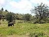 Bush elephant (Mt.Kenya,E.Africa 2005)