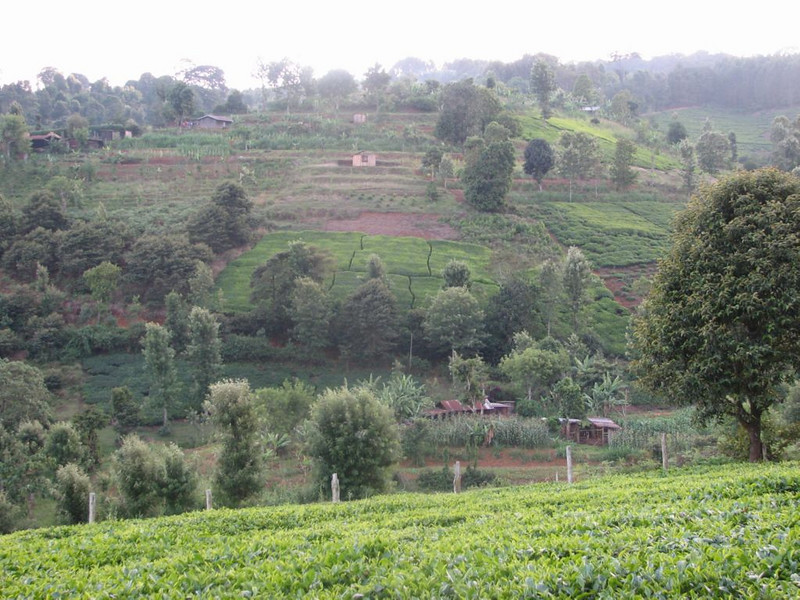 Coffee plantations near Chogoryia (Mt.Kenia,E.Africa 2005)