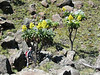 Senecio johnstonii ssp. battiscombei (Mt.Kenya,E.Africa 2005)