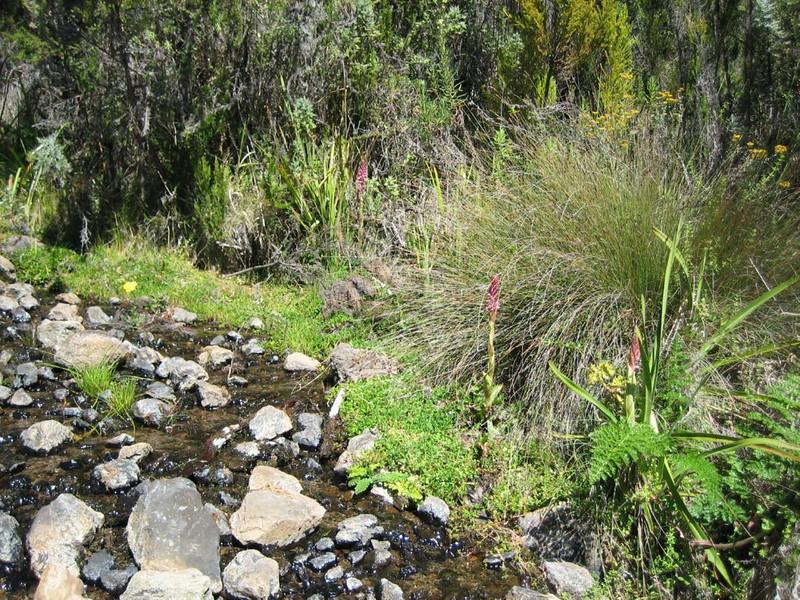 habitat of the orchid, Satyrium crassicaule (Mt.Kenya,E.Africa 2005)