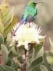 Protea kilimandscarica and Nectarinia famosa,  malachite sunbird (Mt.Kenya,E.Africa 2005)