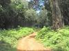 route Campsite Forest Gate 1735m.- Campsite Bairuni Clearing 2525m. (Mt.Kenya,E.Africa 2005)