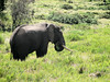 the bush elephant (Mt.Kenya,E.Africa 2005)