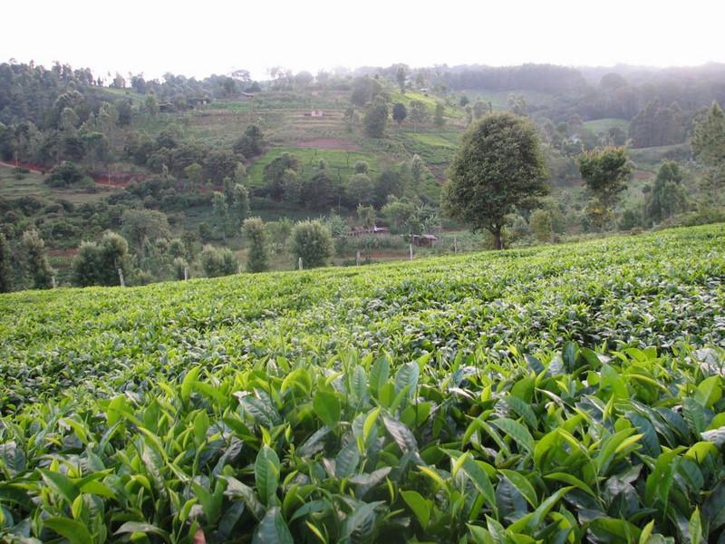 Coffee plantations near Chogoryia (Mt.Kenya,E.Africa 2005)