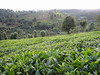 Coffee plantations near Chogoryia (Mt.Kenya,E.Africa 2005)