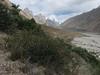 Clematis vernayi shrub in Karakorum landscape (Jula 3140m.- Paiju 3450m.)