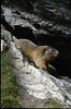 mountain marmot (the Ecrins 1992, 93)