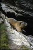 mountain marmot (the Ecrins 1992, 93)