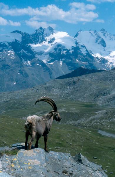 Ibex (Gran Paradiso, Italy 2002)