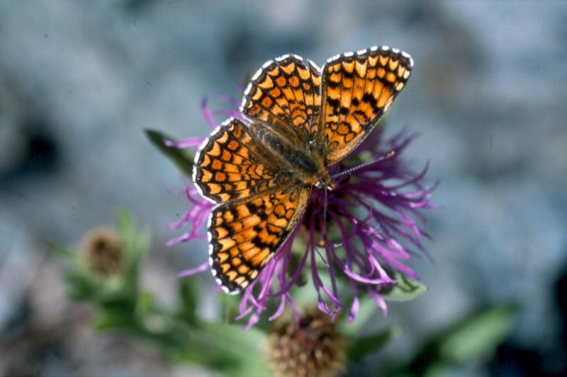 butterfly on Certaurea spec. (Gran Paradiso, Italy 2002)