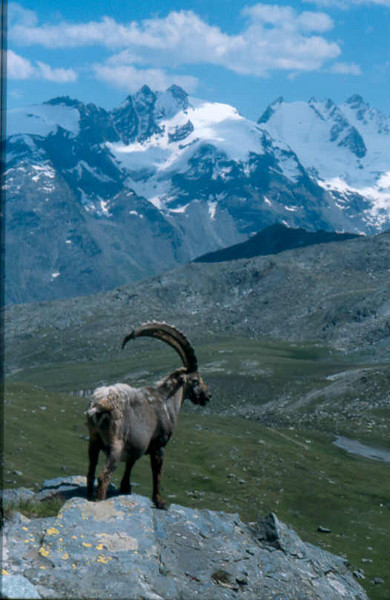 Ibex with the Gran Paradiso (Gran Paradiso, Italy 2002)