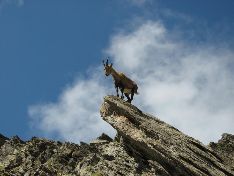 Ibex (rock-goat) Descending Refuge du Gouter 3817m