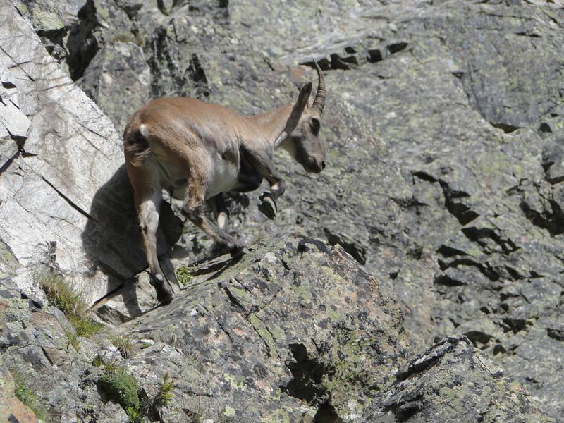 Ibex,   Rock climbing, L'Index 2385m (Aiguille Rouges)
