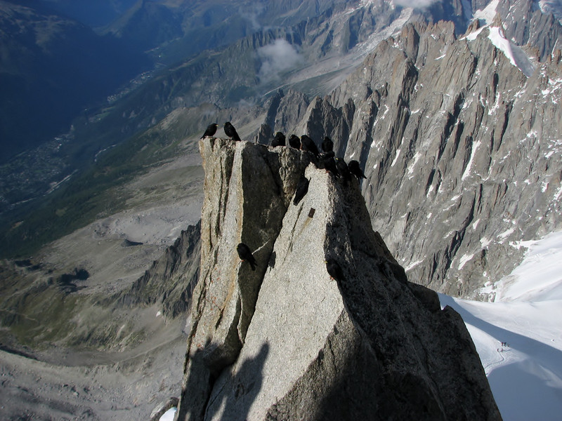 Alpine Chough (Pyrrhocorax graculus)