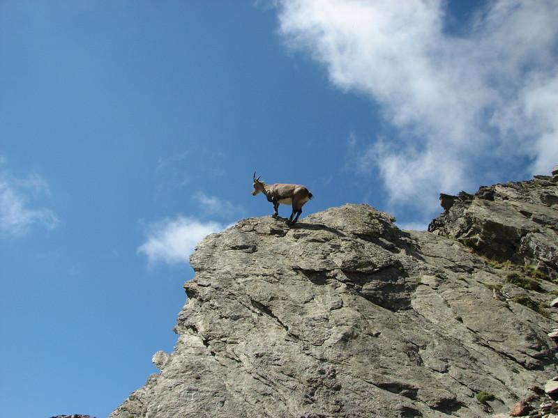 Ibex (rock-goat) Descending Refuge du Gouter 3817m