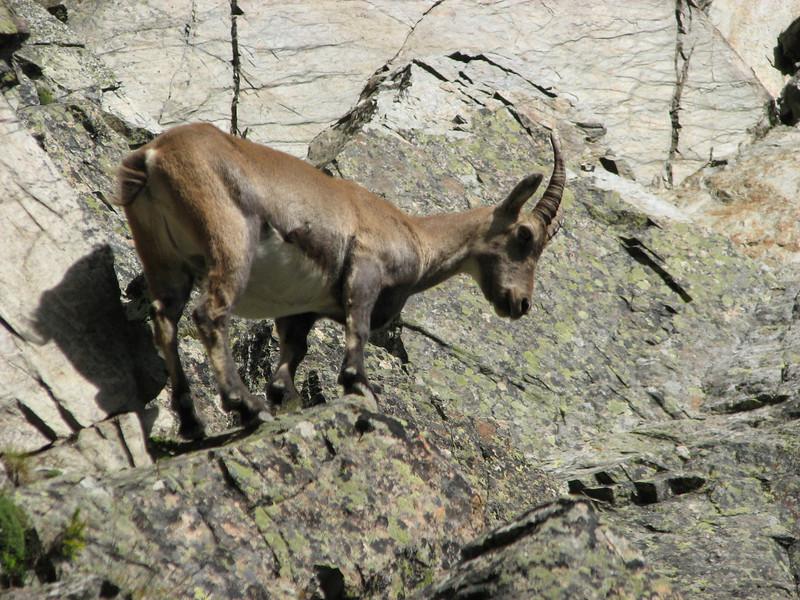 Rock climbing Ibex,   L'Index 2385m (Aiguille Rouges)