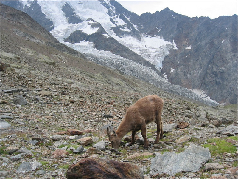 the Ibex, near baraque forestiere des Rognes 2788m. (montblanc2005)