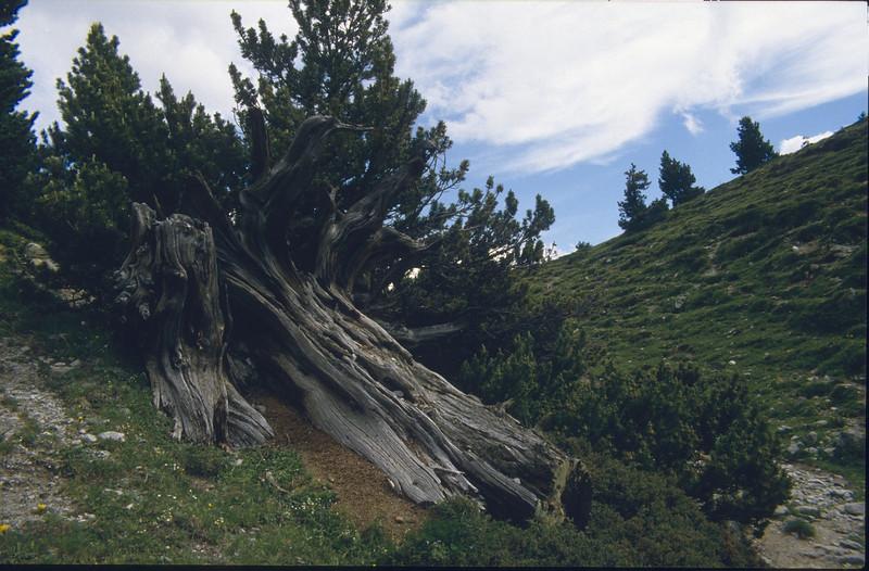 Arve tree (National Park Switzerland)