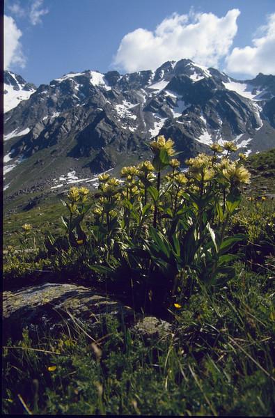 Gentians (Silvretta juli 1986)